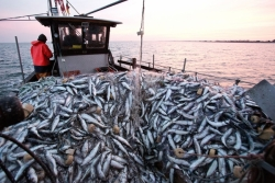 Apturēta reņģu zveja līča piekrastes Austrumu rajonā