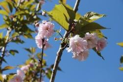 Ainažos zied sakuras