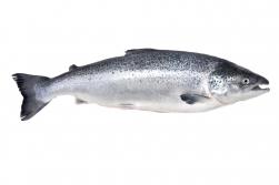 Salacā ir sācies lašu un taimiņu zvejas liegums